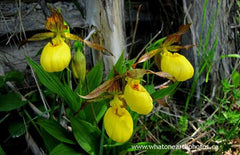Yellow Lady's-Slipper (Cypripedium parviflorum), Ontario