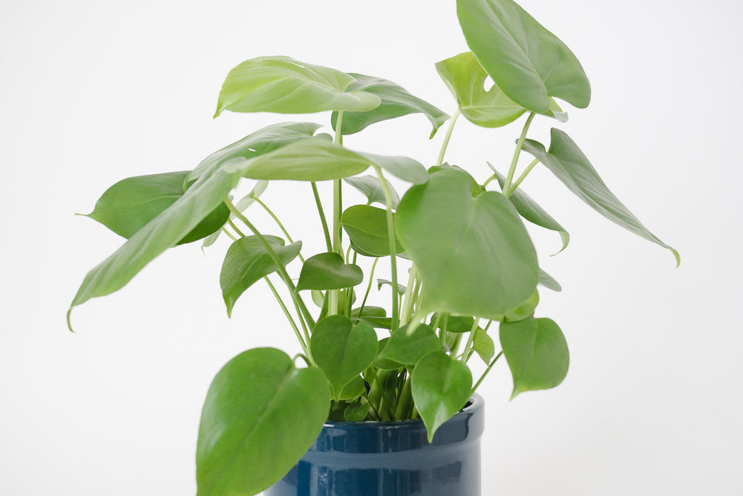 Split Leaf Philodendron & Vtg Pot