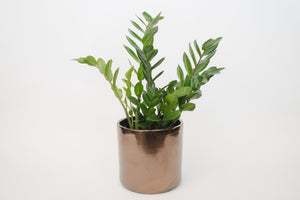 zz plant (package D)