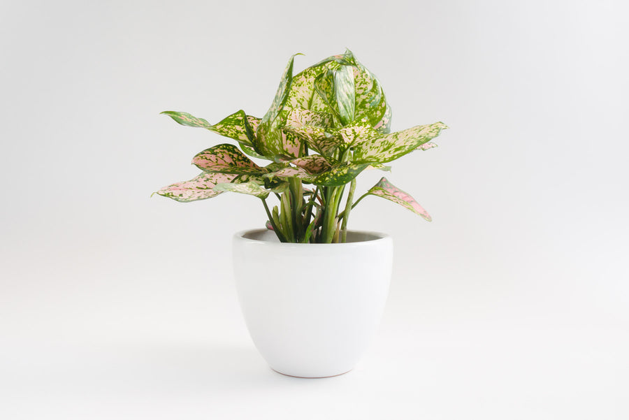 "7"" Pot / Planter - Matte White Bell"