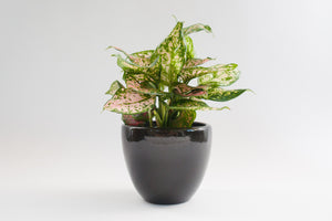 "7"" Pot / Planter - Gloss Black Bell"