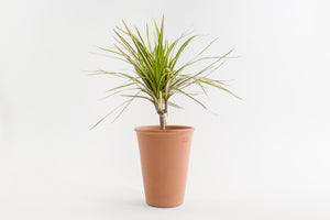 "5.5"" Pot / Planter - Terra Cotta Rosen"