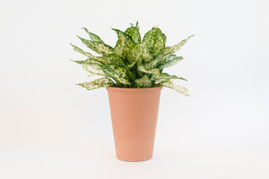 "7"" Pot / Planter - Terra Cotta Rosen"