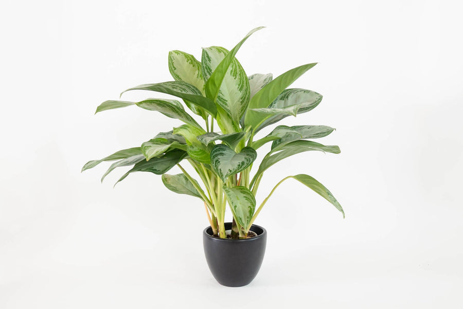 assorted aglaonema (Package A)
