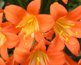 Clivia miniata orange