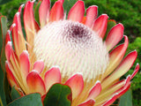 Protea care tips