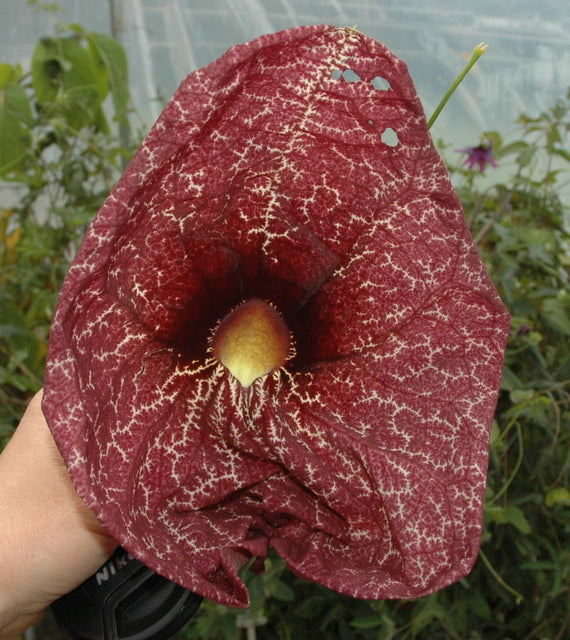 "Aristolochia gigantea 4"" pot"