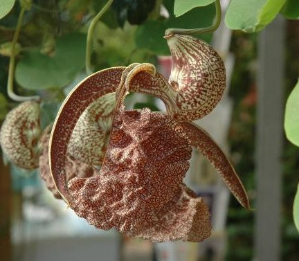 "Aristolochia labiata 4"" pot"