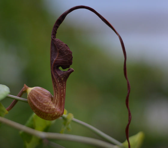 "Aristolochia macroura 4"" pot"