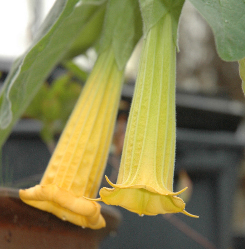 "Brugmansia sanguinea 'Inca Princess' 4"" pot"