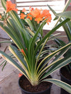 Clivia miniata (variegated) Bloom size