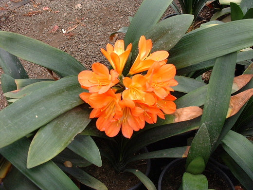 Clivia miniata Orange bloom size