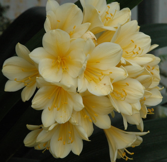 Clivia miniata (yellow) bloom size