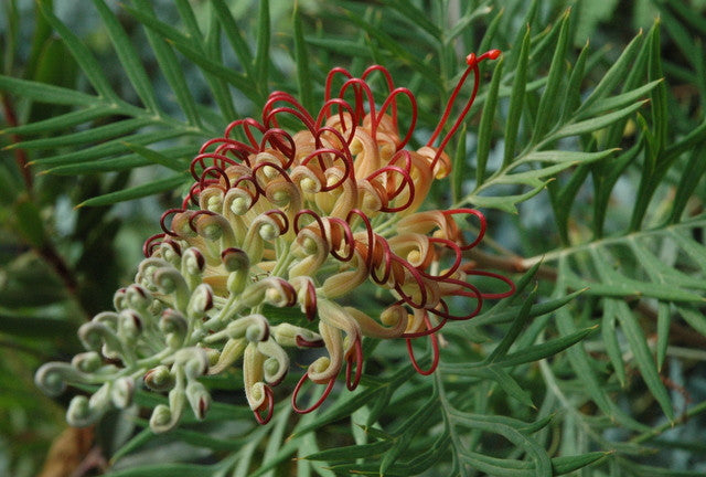 "Grevillea 'Robyn Gordon' 4"" pot"