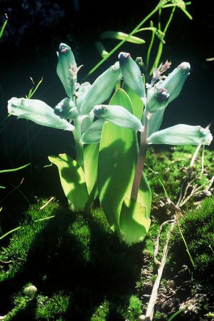Lachenalia viridiflora 2 bloom size bulbs