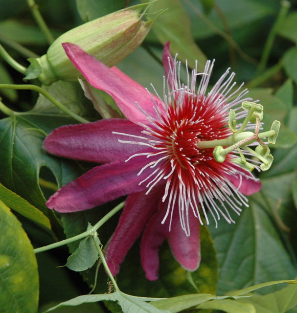 "Passiflora 'Anastasia' 4"" pot"