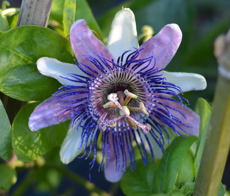 "Passiflora 'Belotii' 4"" pot"