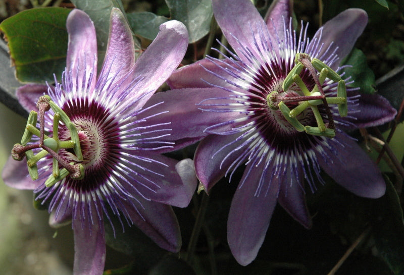 "Passiflora 'Betty Myles Young' 4"" pot"