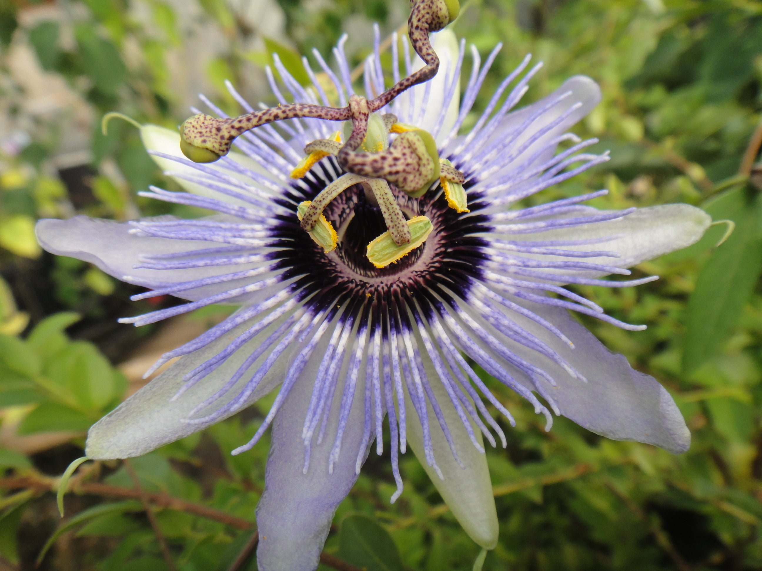 Passiflora Blue Bouquet 4 Pot Grassy Knoll Plants