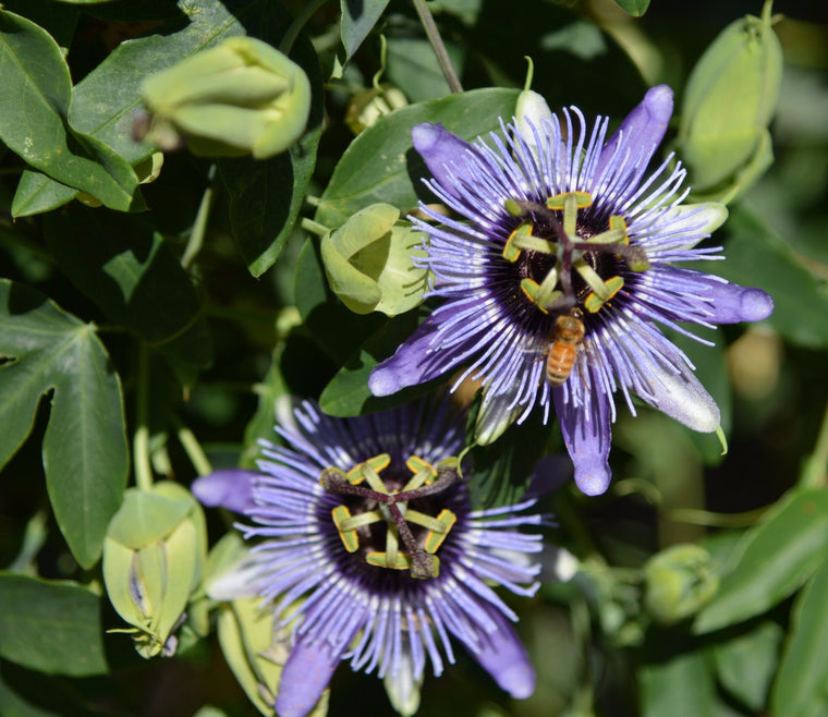 "Passiflora 'Blue Bouquet' 4"" pot"