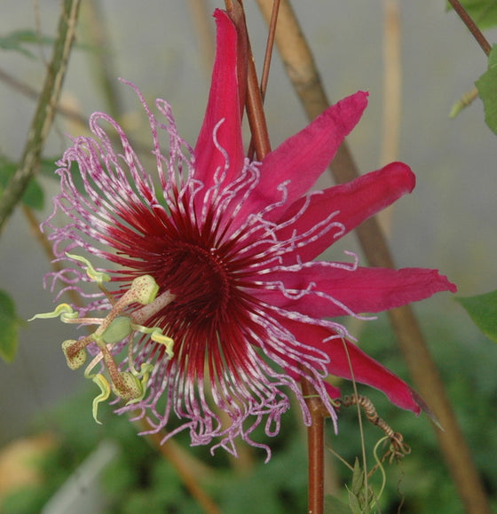 "Passiflora 'Crimson Tears' 4"" pot"