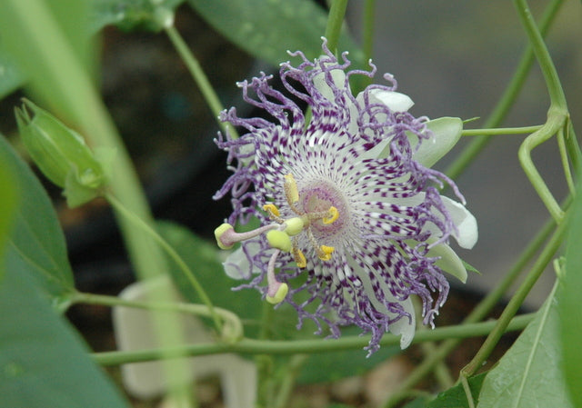 "Passiflora 'Guglielmo Betto' 4"" pot"