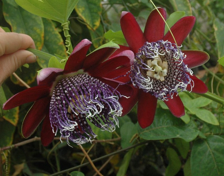 "Passiflora 'Precioso' 4"" pot (formerly sold as Preciosa)"