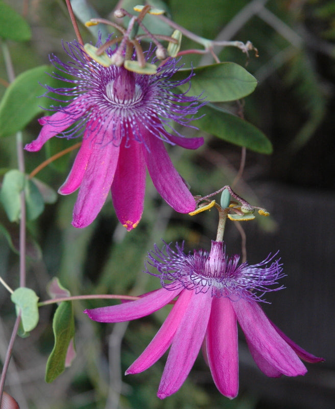 "Passiflora 'Thuraia' 4"" pot"