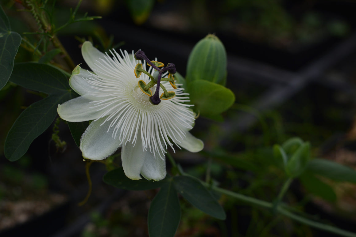 "Passiflora 'White Wedding' 4"" pot"