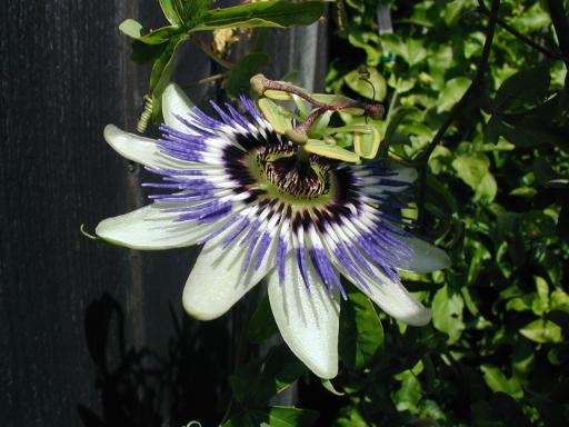 "Passiflora caerulea 4"" pot"