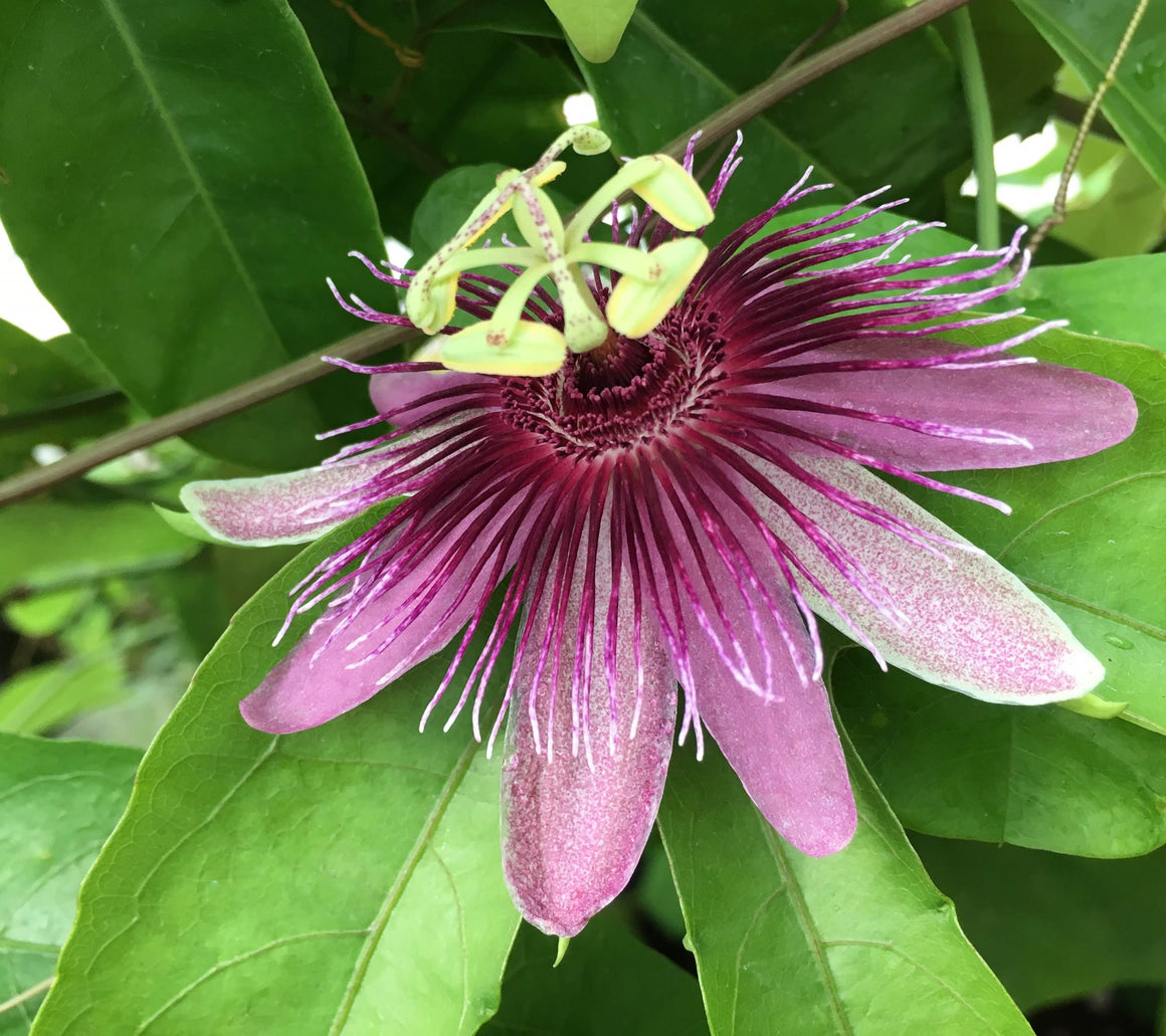 "Passiflora choconiana 4"" pot"