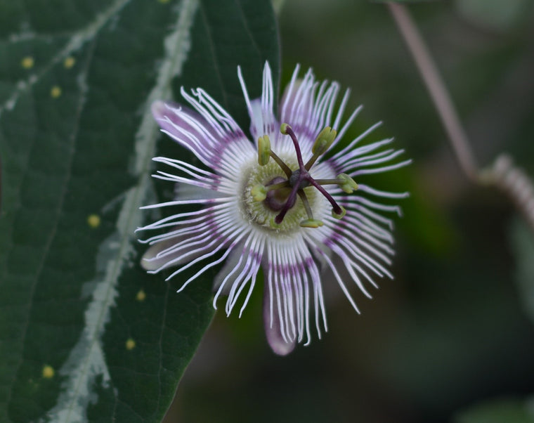 "Passiflora pardifolia 4"" pot"