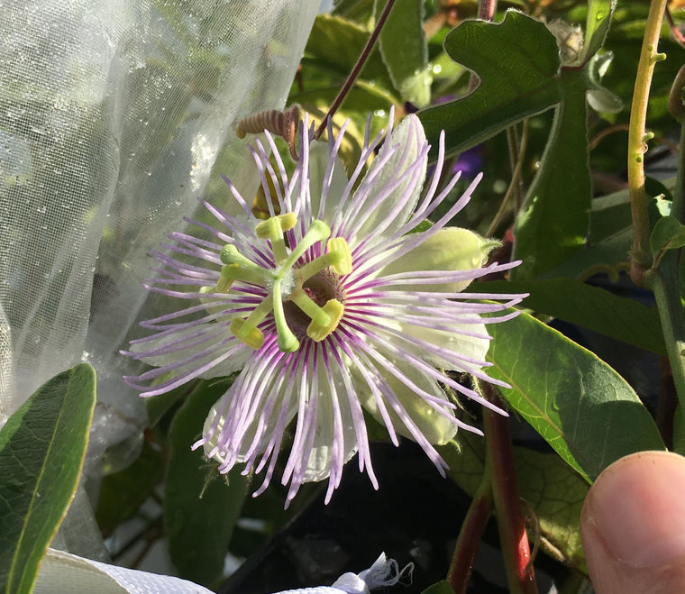 "Passiflora pentaschista 4"" pot"