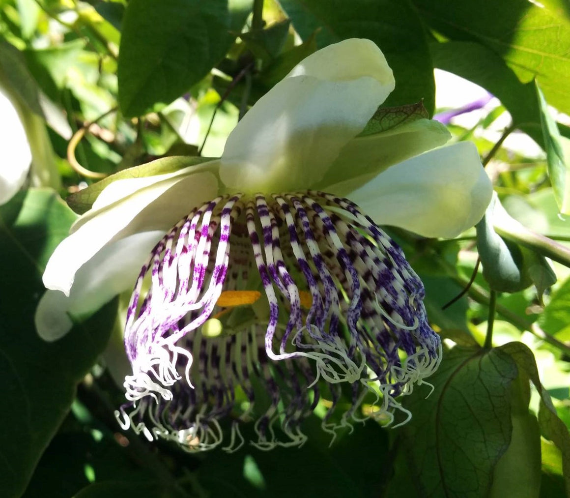 "Passiflora sidifolia (sidaefolia) 4"" pot"