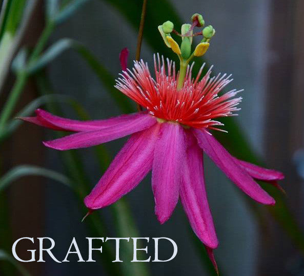 "Passiflora gritensis grafted plant 4"" pot (pre-order)"