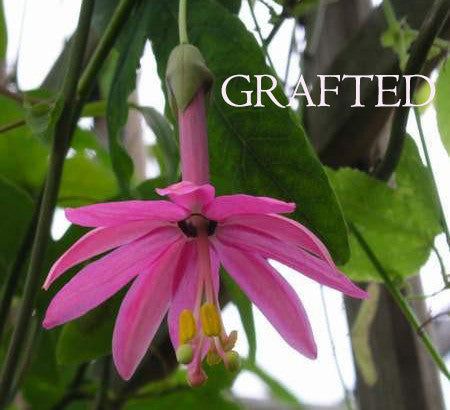"Passiflora luzmarina grafted 4"" pot (pre-order)"
