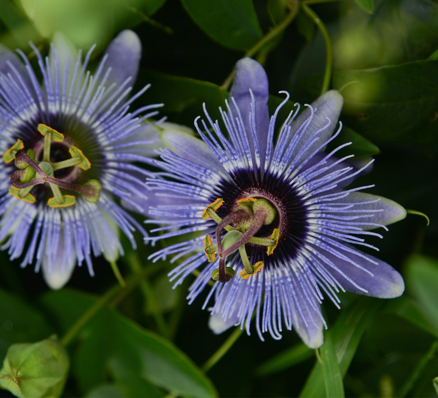 Passiflora \'Blue Bouquet\' 4\