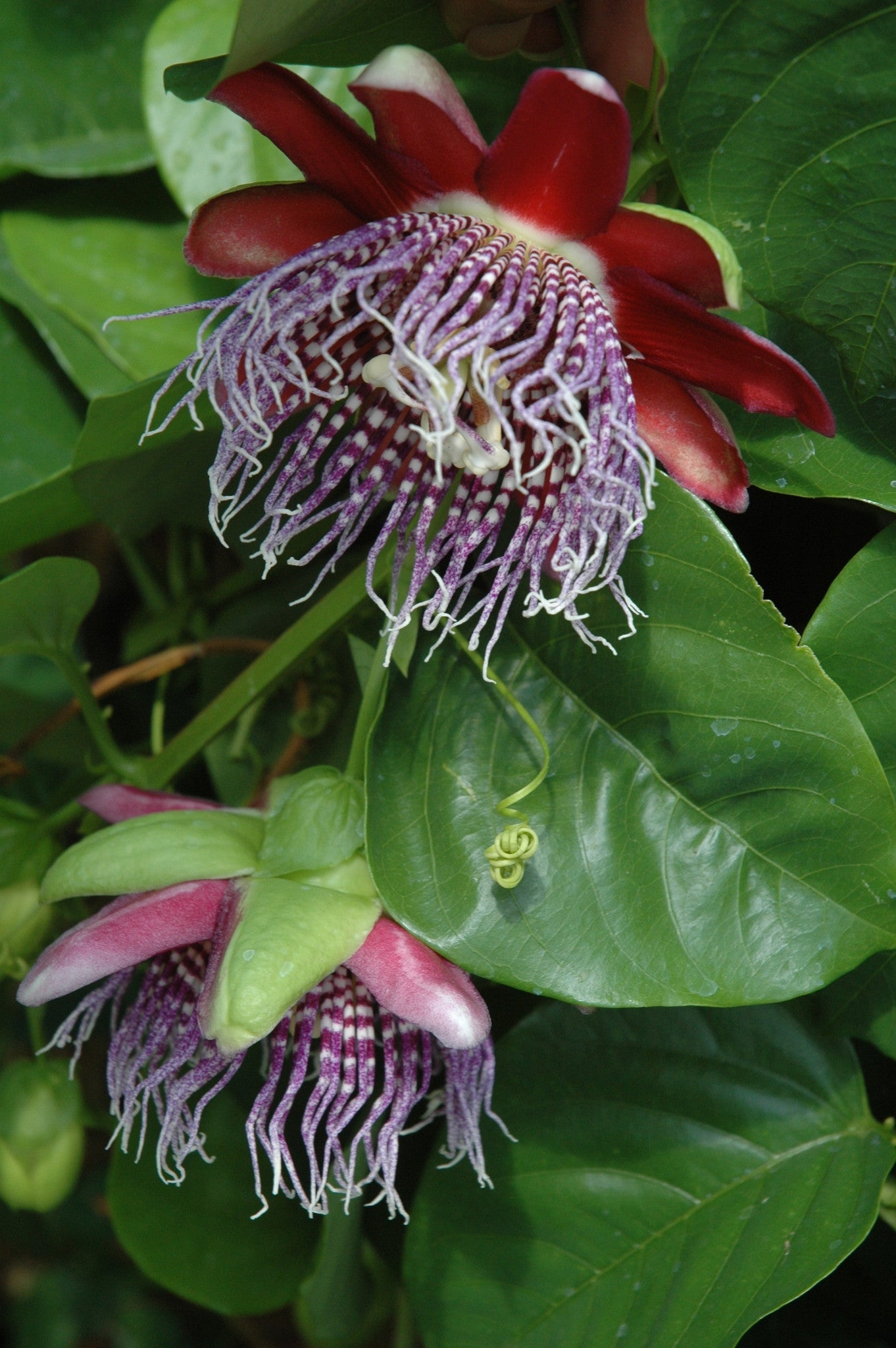 Passiflora Purple Tiger 4 Pot Grassy Knoll Plants