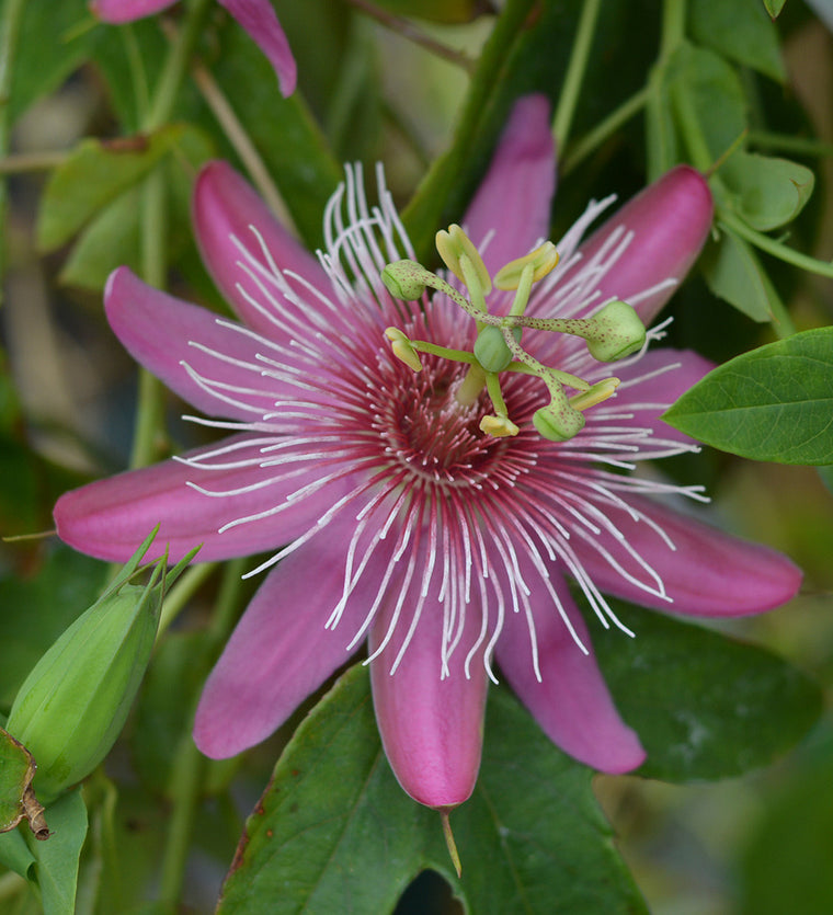 "Passiflora 'Raspberries and Cream' 4"" pot"