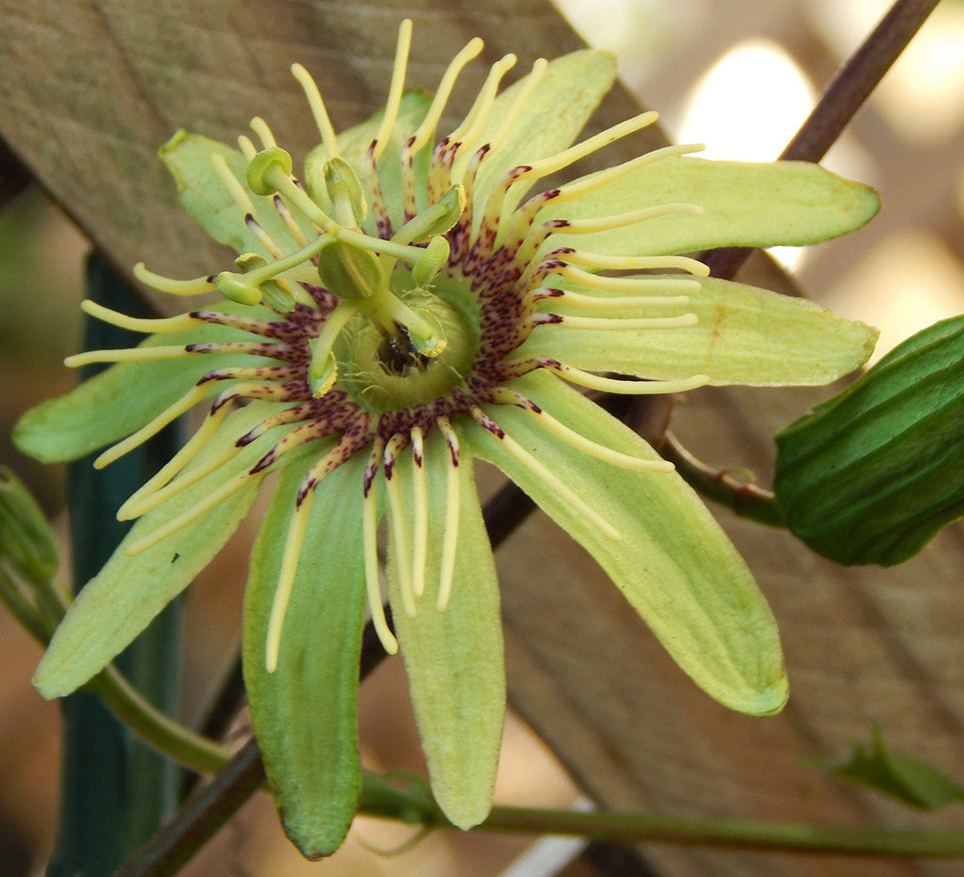 "Passiflora rovirosae 4"" pot"