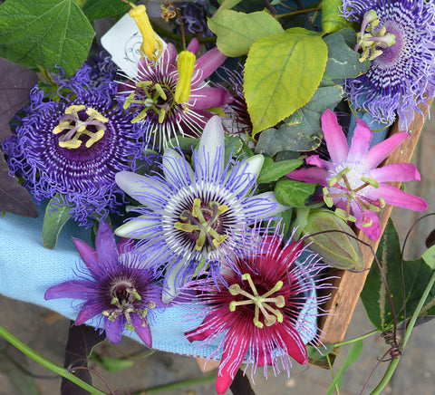A sample of the passiflora that you may receive from us.