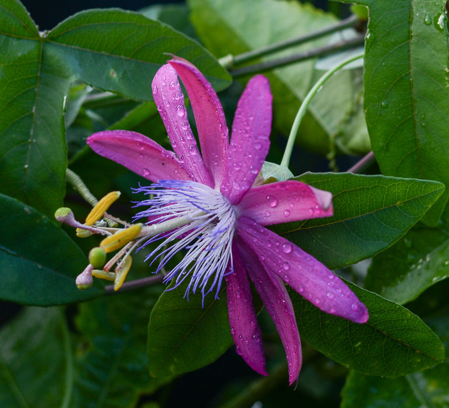 "Passiflora 'Vanessa' 4"" pot"
