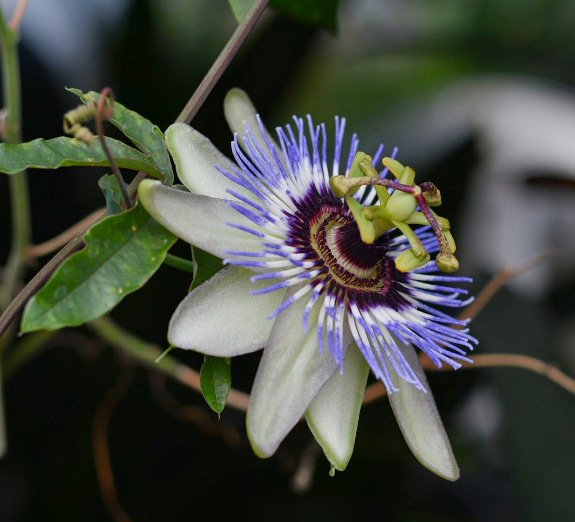 "Passiflora caerulea 'Clear Sky' 4"" pot"