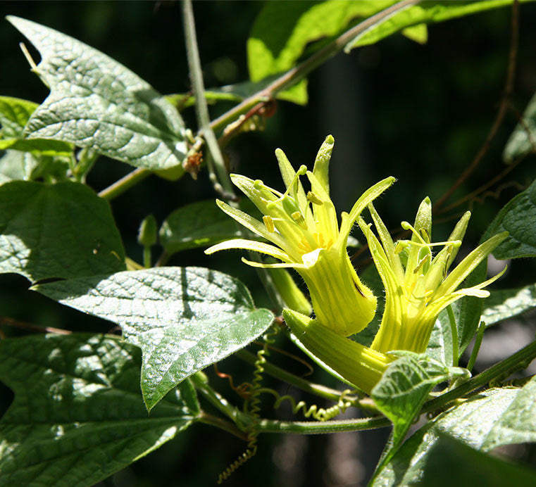 Passiflora citrina photo courtesy of Ron Boender