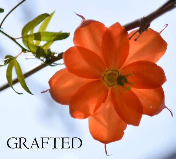 "Passiflora parritae grafted plant in 4"" pot (pre-order)"