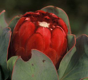 "Protea grandiceps  4"" pot"