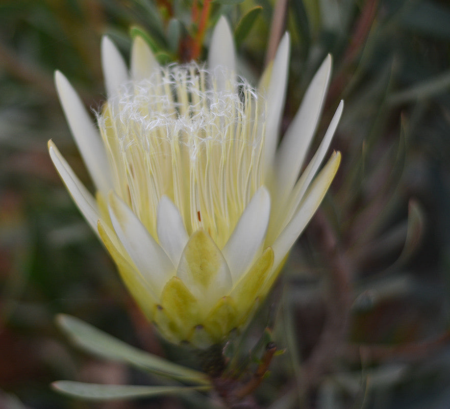 "Protea repens (white)  4"" pot"