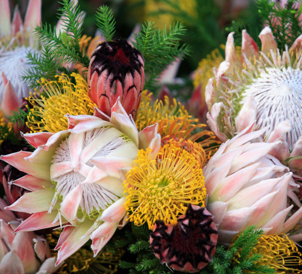 "Protea Starter Kit 4"" pot"