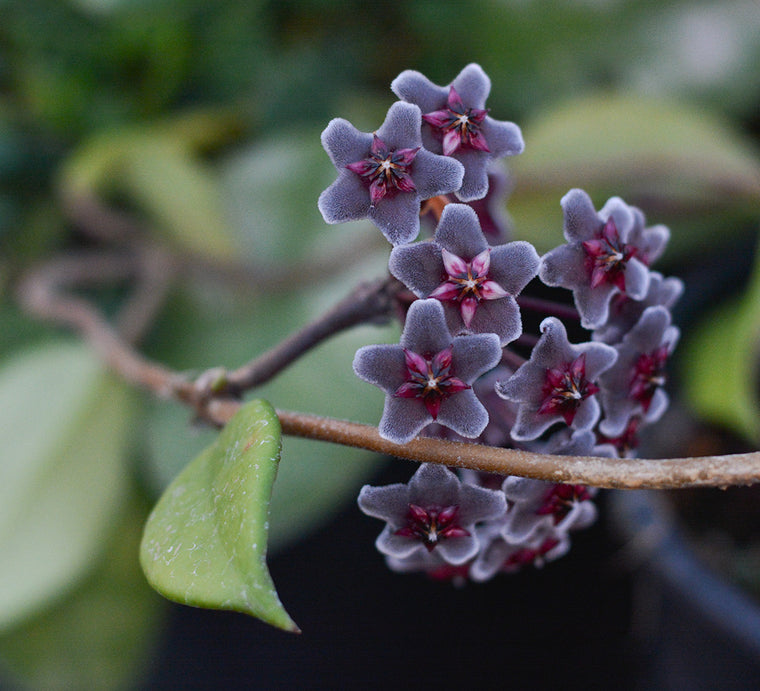 "Hoya pubicalyx 'Royal Hawaiian Purple' 4"" pot"