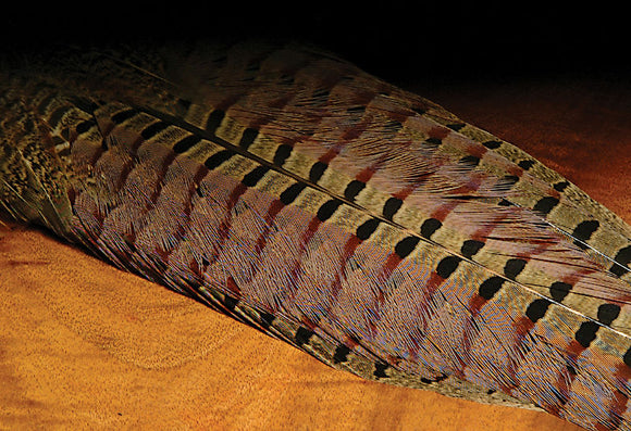 Ringneck Pheasant Complete Tail
